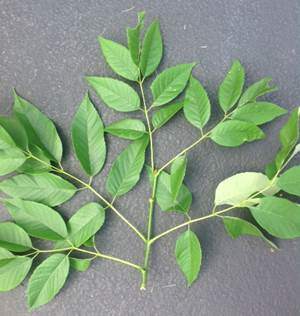 EAB.ash leaves